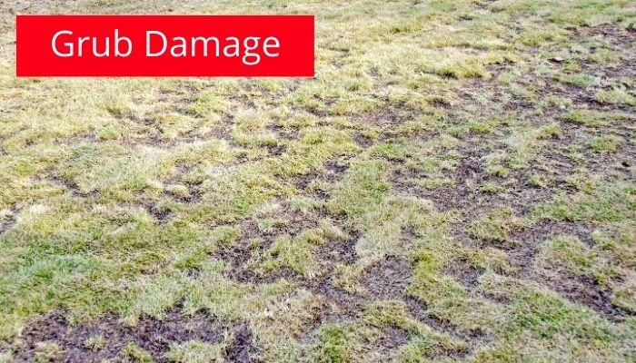 Grub Damage Image